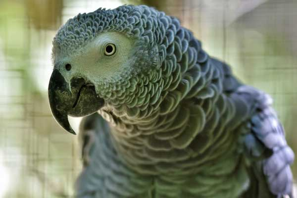 The-African-Grey