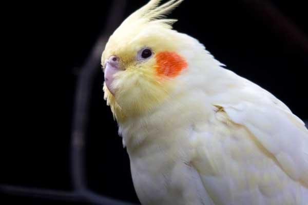 The-Cockatiel