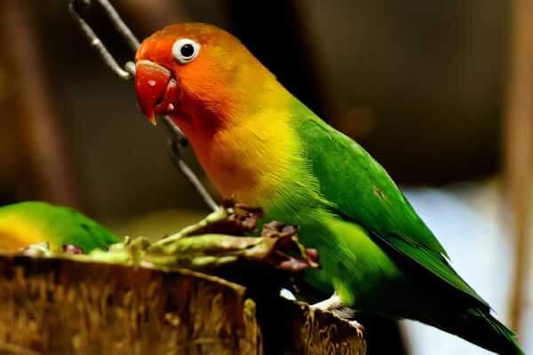 The-Lovebird-the-best-pet-birds
