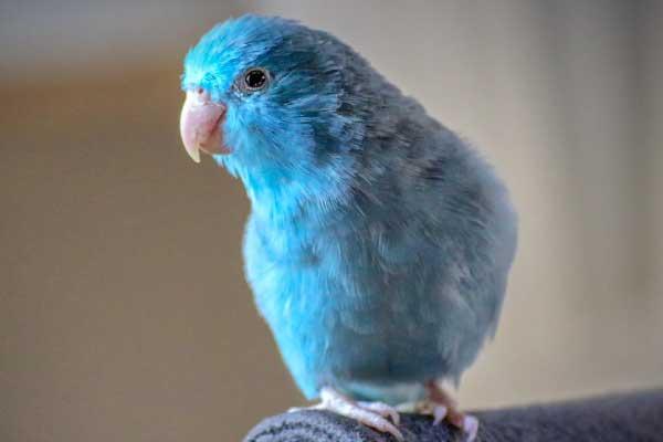 The-Parrotlet-best-pet-for-apartment